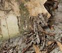 Ceratophaga vicinella
