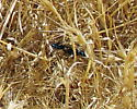 Steel-blue Cricket Hunter Wasp