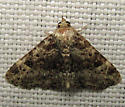 8499 Common Fungus Moth - Metalectra discalis