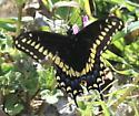 Black Swallowtail ? - Papilio