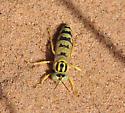 Stictiella villegasi, Algodones Sand Wasp - Stictiella villegasi