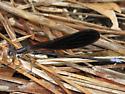 Black Dancer - Argia fumipennis