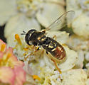 Another Syrphid ?? - Paragus haemorrhous