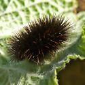 Tiger Moth Caterpillar #1? - Arachnis
