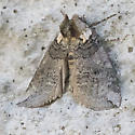 moth - Euthyatira semicircularis
