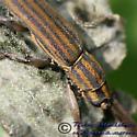 Flat-faced Longhorn Beetle - Hippopsis lemniscata