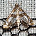 Bold Medicine Moth - Hodges #4744 - Chrysendeton medicinalis