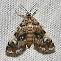 Unknown moth - Elophila obliteralis