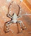 Bristly Spider in roof eave - Araneus cavaticus - male