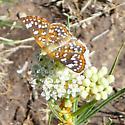 Checkered Butterfly - Apodemia palmeri - female