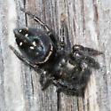 jumping spider - Phidippus johnsoni