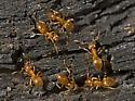9023890 ant - Lasius umbratus - female