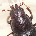 Stag beetle - Ceruchus piceus - female