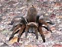 Tarantula - Aphonopelma chalcodes