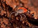 Ixodes scapularis - female