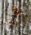 True Bug - Neopamera bilobata