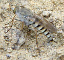 Stiletto fly - is this Pandivirilia?