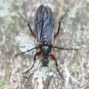 Bibio - Bibio femoratus - female