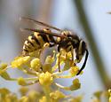 Wasp - Vespula pensylvanica - female