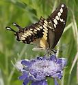 Western or Eastern Giant Swallowtail? - Papilio rumiko