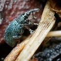 Weevil - Ischnopterapion virens