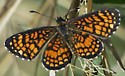 Arizona Checkerspot - Microtia elada