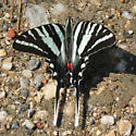 Zebra Swallowtail Butterfly (Eurytides marcellus) - Eurytides marcellus