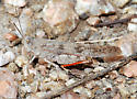 Seaside Grasshopper - Trimerotropis maritima - male