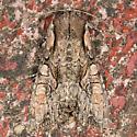 Speckled Cutworm Moth - Lacanobia subjuncta