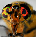 Crazy Eyes - Chrysops geminatus - female