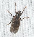Pyrgotidae - Sphecomyiella valida