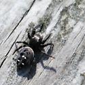 Black and white jumping spider  - Phidippus audax