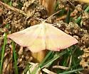 Unknown Butterfly - Haematopis grataria - female
