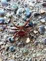 Big spider! What do you think it is?! - Araneus