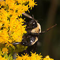 Bombus auricomus - Black-and-gold Bumble Bee? - Bombus fraternus