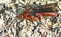 Rusty Spider Wasp - Tachypompilus ferrugineus