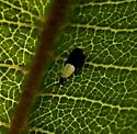Hopper nymph - Scaphoideus incisus