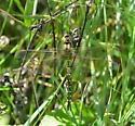 Lance-Tipped Darner - Aeshna constricta