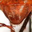 Phyllophaga (Phyllophaga) hamata (Horn) - Phyllophaga hamata