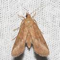 Hodges#5237 - Mimophobetron pyropsalis