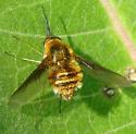 Bee Fly June 27