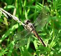 Dragonfly - Libellula cyanea - female