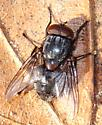 Cold Day Fly - male