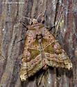 Unknown Moth - Phlogophora periculosa