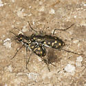 Mating Wetsalts Tiger Beetles from south Alvord Basin - Cicindelidia haemorrhagica - male - female