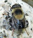 large Bee-like fly is? - Eristalis flavipes