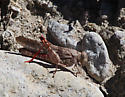 Short-horned Grasshoppers (Acrididae) - Trimerotropis latifasciata - female