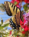 Tiger Swallowtail - Papilio - female