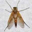 Snipe Fly? - Rhagio tringarius
