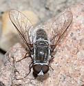 Bombyliid - Aphoebantus